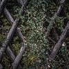 natural fence hedera